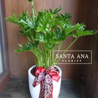 【Santa Ana】小天使蔓綠絨落地型盆栽(蔓綠絨組合盆栽)